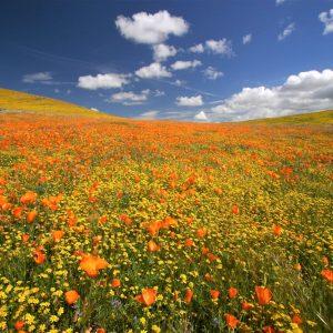 CA Poppy Reserve